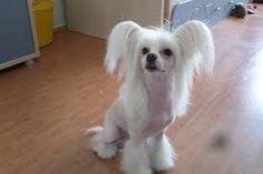 китайская хохлатая собака Chinese Crested Dog, Teacup, Pup, Dogs, Tea Cup, Dog Baby, Pet Dogs, Tea Cups, Puppies