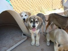 Husky/Lab mixed puppies - what we think Ella is! :) Love that one in the middle!!! Looks just like her but grey!!