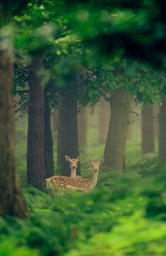 """Look deep into nature and you will understand everything better"". Does / deer on watch in a magical forest. Beautiful Creatures, Animals Beautiful, Photo Animaliere, Walk In The Woods, Mundo Animal, All Gods Creatures, Belle Photo, Animal Photography, Nature Photography"