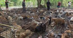 Le gouvernement chinois s'est engagé à prendre des mesures contre le festival de la viande de chien de Yulin. Mais dans les faits, rien n'a changé...