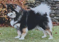 Tri-color Finnish Lapphund