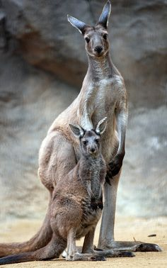 """Kangaroo and Joey at the *Everland Zoo, Yongin, Gyeonggi-do, South Korea*""    [Photo by floridapfe (IN CHERL KIM) - November 7 2010]'h4d'120919"