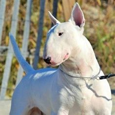 Chien Bull Terrier, Bull Terrier Funny, Bull Terrier Tattoo, Mini Bull Terriers, Miniature Bull Terrier, English Bull Terriers, Pitbull Terrier, Pit Bull, Animals And Pets