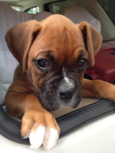 Too much boxer cuteness :-)