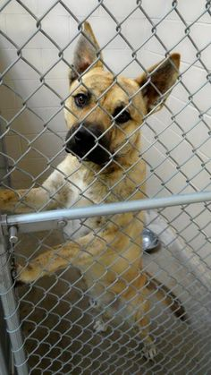 SUPER URGENT! Cage 44-Pongo Tan Pit X, Male 2 Yrs Impound 1/17/14 Due out 1/24/14 Roswell Animal Control 705 E. McGaffey; Roswell, NM 575-624-6722 https://www.facebook.com/photo.php?fbid=247196558781682&set=a.210352005799471.1073741841.176246809209991&type=3&theater