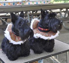 Christmas Piper (l) and Sadie (r)  Greater Pittsburgh Scottish Terrier Club 2010 Picnic(© victornado / Flickr