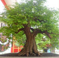 bonsai asem jawa juara Indonesia, Tamarindus indica