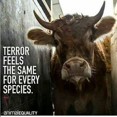 """107 Likes, 2 Comments - Roxanne V. (@2plantbasedbodies) on Instagram: """"Rp @help_the_innocent - Animals feel stress, anxiety and terror before being slaughtered. They…"""""""