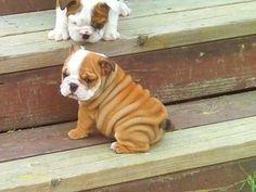 Bulldog pups