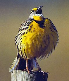 lark bird - Google Search
