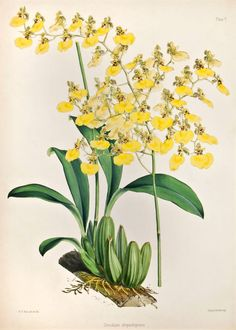 """""""Oncidium Chrysothyrsus,"""" Walter Hood Fitch, 1865.  Fitch was a botanical artist born in Glasgow, Scotland. His first lithograph of Mimulus roseus, appeared in the Botanical Magazine in 1834. Fitch's important works are his illustrations for W. J. Hooker's A Century of Orchidaceous Plants,"""" and for James Bateman's """"A Monograph of Odontoglossum."""" When W. J. Hooker returned from his travels in India, Fitch prepared lithographs from Hooker's sketches from the drawings of Indian artists."""