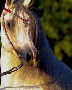Maiq KA Marquis I x Gabriella KA  2014 Stallion  Straight Egyptian