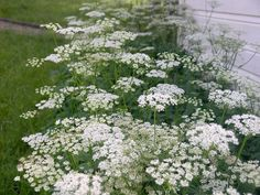 watercolors of queen anne's lace | inherited my bed of Queen Anne's Lace when we bought the house.