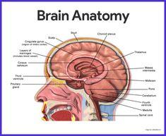 Nervous System Anatomy, Brain Nervous System, Nervous System Function, Central Nervous System, Human Body Organs, Human Body Systems, Brain Anatomy And Function, Nerve Anatomy, Anatomy Art