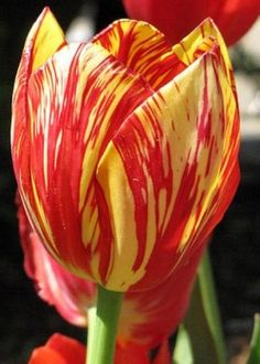 The #tulip originated in Persia and Turkey over ten decades ago. Read more on #hubpages