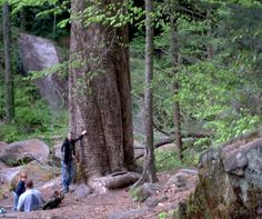 Largest tree in Alabama located in The Bankhead National Forest  < I want to hike here one day! Putting on my to do list.