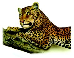 leopard on tree Leopards, Lions, Panther, Animals, Lion, Animales, Animaux, Panthers, Animal