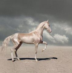 """The Akhal-Teke is also known as the """"gift from the desert"""" and it was bred for its stamina and speed. It was used by Turkmen nomads. The Akhal-Teke can withstand conditions and certain situations such as going long periods of time without food and water unlike other breeds.This breed of horse is known for its sensitive nature and for its propensity for forming strong attachments to their owners. Today in modern Russia, owning an Akhal-Teke is a sign of wealth."""