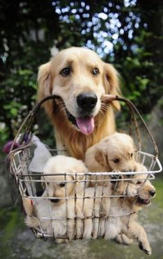 "Proud Mom Dog: ""Loaded Basket!"" ""Hi Everyone! I found this the easiest way to carry my puppies, and to show all of you how cute they are; I LOVE them to bits!"""
