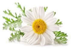 Camomile – Inevitable Natural Remedy