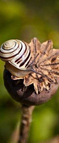 #brown little snail