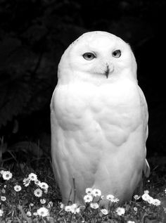 SnowBaykuşların görme ve işitme kabiliyetleri son derece hassastır. Çok az ışıkta avlarını yakalayabildikleri gibi, zifiri karanlıkta da işitme duyularıyla yerini tespit ederek yakalarlar. Kulakları, en küçük hışırtıyı işitebilecek duyarlıktadır. Hassas kulaklarıyla, gecenin sessizliğinde uçan pervanenin kanat sesini veya bir tohumun çiğnenişini, hatta tam sessizlikte düşen iğnenin sesini bile işitebilirler.