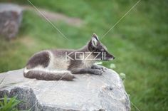 black and white fox - Black and white fox on top of a rock looking out for prey.