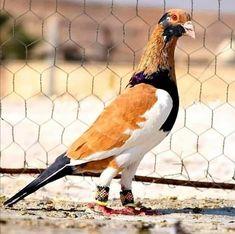 Interesting Animals, Unusual Animals, Like Animals, Animals And Pets, Pretty Birds, Beautiful Birds, Animals Beautiful, Pigeon Pictures, Horse Pictures