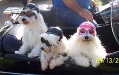 Brenton, Dellie, & Gordon in Bradenton FL  Maltese biker dogs & Doggles!