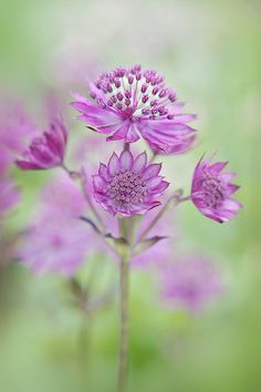 Fifteen Gardening Recommendations On How To Get A Great Backyard Garden Devoid Of Too Much Time Expended On Gardening Astrantia Major 'Claret' By Jacky Parker On Exotic Flowers, Amazing Flowers, My Flower, Purple Flowers, Beautiful Flowers, Astrantia Major, Different Flowers, Belleza Natural, Garden Plants