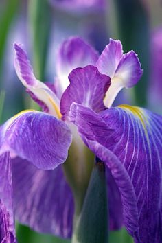 Irises:  My favorite flower, especially in dark blue and purple.  I am always delighted to receive them or see them growing wild.