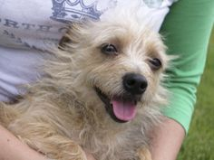 Annie FREE ADOPTION JUNE 1 & 2 is an adoptable Cairn Terrier Dog in San Jose, CA. Tailchaser Rescue will be participating in Maddie's Pet Adoption Days June 1 & 2! ADOPTIONS ARE FREE for these two day...