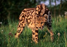 Cheetah Rare King Cheetah. Result of a genetic mutation.