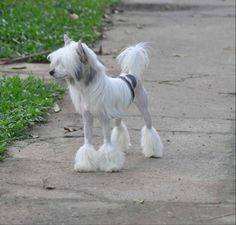 Lapinus Chinese Crested - I'd love Trix to have this cut.