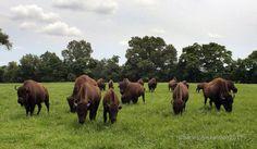 tennessee safari park, Alamo, TN, northwest of Jackson, TN