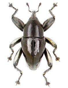 Trigonoplerus oblungus