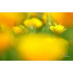 少しでも元気が届くように... ビダミンカラーを送ります #花菱草 #ハーブ庭園旅日記  #α7  #SONY #カメラ好き #お写んぽ #写真撮ってる人と繋がりたい #写真好きな人と繋がりたい #ファインダー越しの私の世界 #yamanashi #team_jp_ #team_jp_東 #ICU_JAPAN #IGersJP #LOVES_NIPPON #nat_archive #wp_photo_club #Japan_Daytime_View #はなまっぷ #花見日和 #ザ花部 #team_jp_flower #9Vaga9 #9Flower9 #LOVES_FLOWERS_ #QuintaFlower #wp_flower by m_takatoh