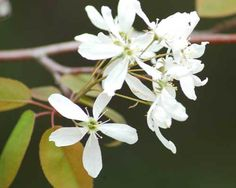 Pictures of Flowering Trees: Pictures of Flowering Trees
