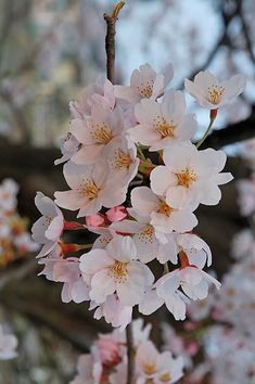 Cherry blossoms at Fukushima.