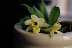 Promenea Limelight Orchids, Flowers, Plants, Plant, Royal Icing Flowers, Flower, Florals, Floral, Planets