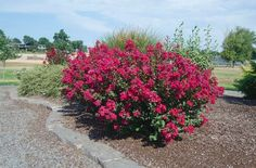 Princess Kylie™ Crapemyrtle features magenta blooms on this mounding dwarf Crapemyrtle from summer to fall.