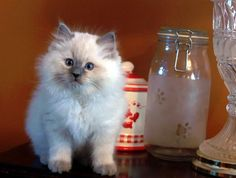 ragdoll kitten... so flipping adorable! they are actually the most cuddly cats ever. i want!