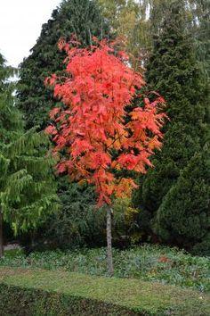 japansk røn sorbus commixta
