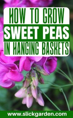 HOW TO GROW SWEET PEAS IN HANGING BASKET. The beautiful scent of sweet pea flowers can cover the whole garden of yours in spring and summer. Along with the scent, a big layer of beauty will be a part of your garden in no time. Indoor Gardening Supplies, Container Gardening, Gardening Tips, Flower Gardening, Organic Gardening, Sweet Pea Plant, Beautiful Gardens, Beautiful Flowers, Growing Sweet Peas