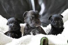 Wauzer puppies | Waltham Cross, Hertfordshire | Pets4Homes