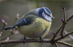 Blue Tit   Flickr - Photo Sharing!