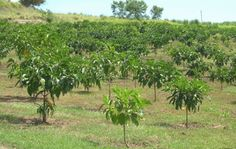 Organic Noni Fruit Health BenefitsHealth benefit Health benefit or health benefits may refer to: Noni Juice, Noni Fruit, Arthritis Symptoms, Polynesian Culture, Body Systems, South Pacific, Health Benefits, Medicine, Organic