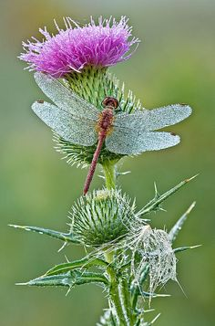 Dragonfly on Thistle; photo by .Dean Pennala