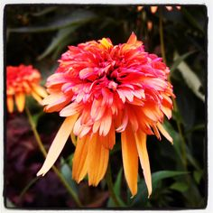 Learn why one of our garden editors is obsessed with this  'Marmalade' Coneflower! #BHGSummer