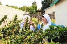 In the garage of a three-bedroom house in California, a group of three nuns grow marijuana, which they use to produce cannabidiol tinctures and salves. According to a recent feature in The Guardian. Cbd Hemp Oil, Marijuana Plants, Cannabis Growing, Smoking Weed, Medical Marijuana, The Guardian, Ny Times, Women, God